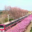 三浦海岸の河津桜と三崎のまぐろを堪能するツアー